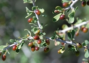 Condalia globosa var. pubescens