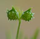 Ranunculus arvensis