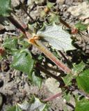 Ceanothus crassifolius