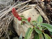 Rumex salicifolius var. crassus