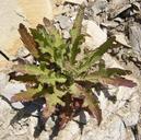 Malacothrix saxatilis var. saxatilis