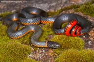 Diadophis punctatus amabilis