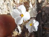 Linanthus concinnus