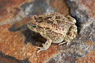 Garman's Toad