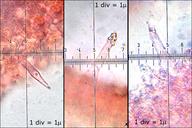 Melanoleuca polioleuca
