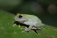 Dull-green Shrub Frog