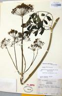Ligusticum californicum
