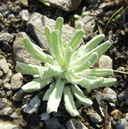 Pseudognaphalium luteoalbum