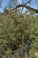 Phytolacca americana var. americana