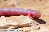 "<strong>Location:</strong> Magdalena Plain (Baja California Sur, Mexico)<br /><strong>Author:</strong> <a href=""http://calphotos.berkeley.edu/cgi/photographer_query?where-name_full=Adam+G.+Clause&one=T"">Adam G. Clause</a>"