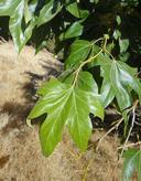Platanus racemosa