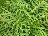 Phlebodium pseudoaureum