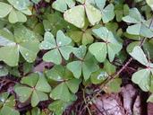 Oxalis tetraphylla var. tetraphylla