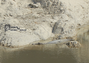 "???…???§? ???§?""?§?¨?Ś?ŚÚ??§?†???ˆ?Ś Ú©?ˆ?±?ˆÚ©?ˆ???Ś?"" ???§?""?§?¨?Ś<br /><strong>Location:</strong> Pishin Dam, Sistan & Baluchestan Province (Iran, Islamic Republic of)<br /><strong>Author:</strong> <a href=""http://calphotos.berkeley.edu/cgi/photographer_query?where-name_full=Barbod+Safaei&one=T"">Barbod Safaei</a>"