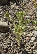Plagiobothrys hispidus