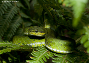Large Scaled Pit Viper