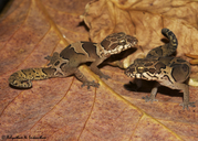 Kollegal Bent-toed Gecko