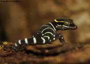 White-barred Bent-toed Gecko