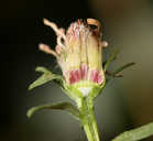 Symphyotrichum lanceolatum var. hesperium