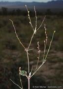 Boerhavia coulteri