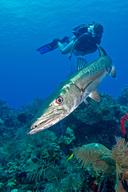 Sphyraena barracuda