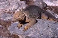 "<strong>Location:</strong> South Plaza Island (Galapagos Islands, South Plaza (Galapagos Islands), Ecuador)<br /><strong>Author:</strong> <a href=""http://calphotos.berkeley.edu/cgi/photographer_query?where-name_full=Simon+J.+Tonge&one=T"">Simon J. Tonge</a>"