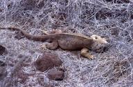 "<strong>Location:</strong> Santa Fe Island (Galapagos Islands, Santa Fe (Galapagos Islands), Ecuador)<br /><strong>Author:</strong> <a href=""http://calphotos.berkeley.edu/cgi/photographer_query?where-name_full=Simon+J.+Tonge&one=T"">Simon J. Tonge</a>"
