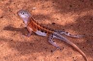 "<strong>Location:</strong> Ifaty (Madagascar)<br /><strong>Author:</strong> <a href=""http://calphotos.berkeley.edu/cgi/photographer_query?where-name_full=Simon+J.+Tonge&one=T"">Simon J. Tonge</a>"