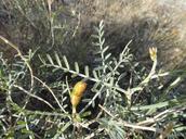 Astragalus pachypus var. pachypus
