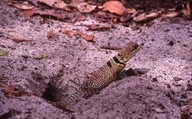 "Female digging nesting hole on path<br /><strong>Location:</strong> Ankarafantsika National park (Madagascar)<br /><strong>Author:</strong> <a href=""http://calphotos.berkeley.edu/cgi/photographer_query?where-name_full=Simon+J.+Tonge&one=T"">Simon J. Tonge</a>"