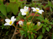 Leptosiphon rosaceus