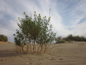 Wislizenia refracta ssp. palmeri