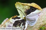 "<strong>Location:</strong> Vicinity of Ocozocoautla (Chiapas, Mexico)<br /><strong>Author:</strong> <a href=""http://calphotos.berkeley.edu/cgi/photographer_query?where-name_full=Adam+G.+Clause&one=T"">Adam G. Clause</a>"