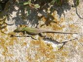 """<strong>Location:</strong> Puntarello, Corsica (France)<br /><strong>Author:</strong> <a href=""""http://calphotos.berkeley.edu/cgi/photographer_query?where-name_full=Simon+J.+Tonge&one=T"""">Simon J. Tonge</a>"""
