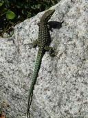 "<strong>Location:</strong> Restonica Valley, Corsica (Corsica (Tyrrhenian Islands), France)<br /><strong>Author:</strong> <a href=""http://calphotos.berkeley.edu/cgi/photographer_query?where-name_full=Simon+J.+Tonge&one=T"">Simon J. Tonge</a>"