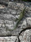 """<strong>Location:</strong> Porto Vecchio, Corsica (Corsica (Tyrrhenian Islands), France)<br /><strong>Author:</strong> <a href=""""http://calphotos.berkeley.edu/cgi/photographer_query?where-name_full=Simon+J.+Tonge&one=T"""">Simon J. Tonge</a>"""