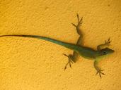Coffee Anole