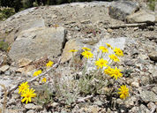 Eriophyllum lanatum var. lanceolatum