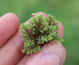 Azolla microphylla