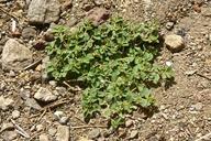 Euphorbia serpyllifolia