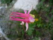 Aquilegia formosa X pubescens