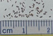 Epilobium ciliatum