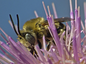 Anthophora sp.