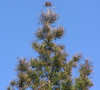Torreya californica