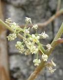 Toxicodendron radicans ssp. divaricatum