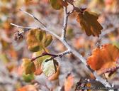 Rhus aromatica var. simplicifolia