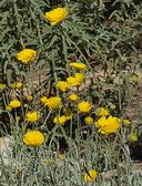 Eriophyllum lanatum var. arachnoideum