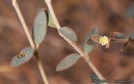 Euphorbia jaegeri