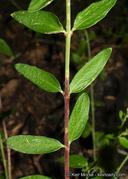 Keckiella rothrockii var. jacintensis