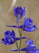 Delphinium hesperium ssp. hesperium